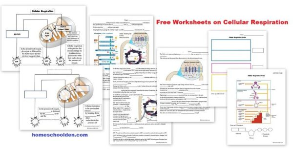 Free-Worksheets-on-Cellular-Respiration-768x393.jpg